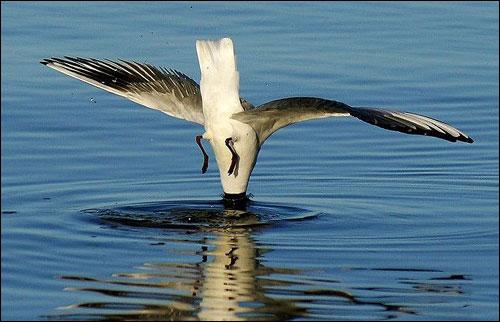 bird_dive